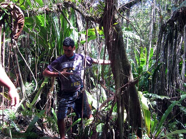 Cutting banyan aerial roots